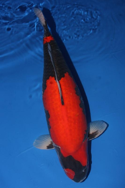 82 best goshiki koi images on pinterest koi carp for Goshiki koi for sale