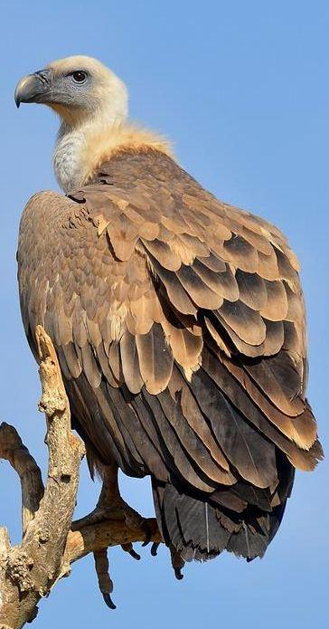 Western Eurasian Griffon Vulture