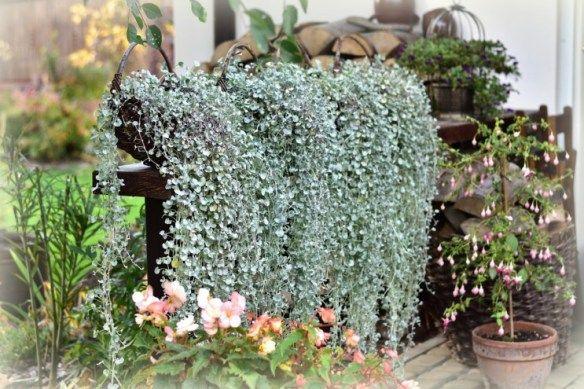 Dichondra Srebrzysta Jednoroczna Roslina Zwisajaca Kaskada Lodyg Plants