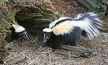 Skunks are known for their ability to spray a liquid with a strong odor. Different species of skunk vary in appearance from black-and-white to brown or cream colored, but all have warning coloration.  Mephitidae Family-Skunks are omnivorous, and chang their diets as the seasons change. They eat insects and larvae, earthworms, grubs, small rodents, lizards, salamanders, frogs, snakes, birds, moles and eggs. They also commonly eat berries, roots, leaves, grasses, fungi and nuts.  Striped…