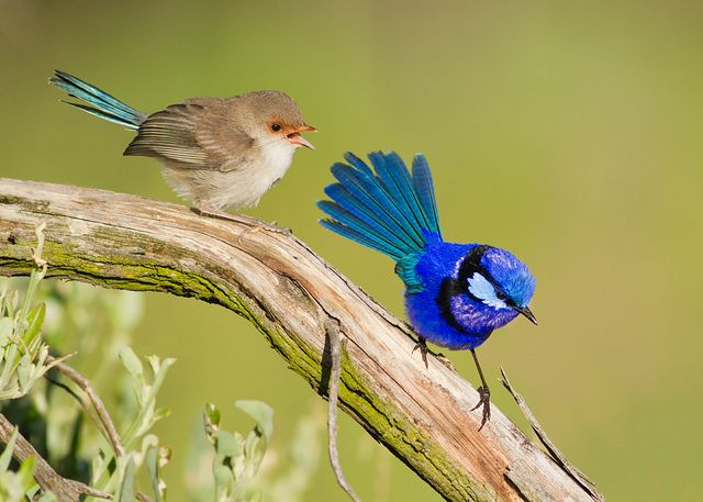 The Splendid Fairywren (Malurus splendens), also known simply as the Splendid Wren or more colloquially in Western Australia as the Blue Wren, is a passerine bird of the Maluridae family. It is found across much of the Australian continent from central-western New South Wales and southwestern Queensland over to coastal Western Australia. / by shelley90, via Flickr