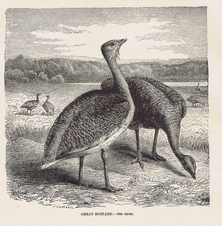 Great Buzzard Otis Tarda 1885 Natural History Page | eBay