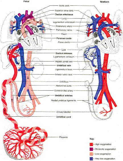 Fetal and Newborn Circulation