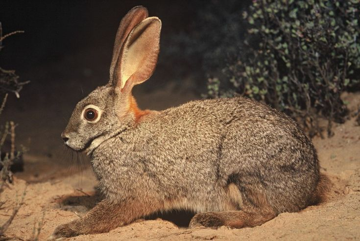 The Rarest Rabbit