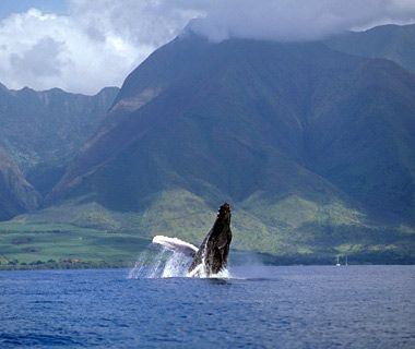 Whale watching in Hawaii DONE