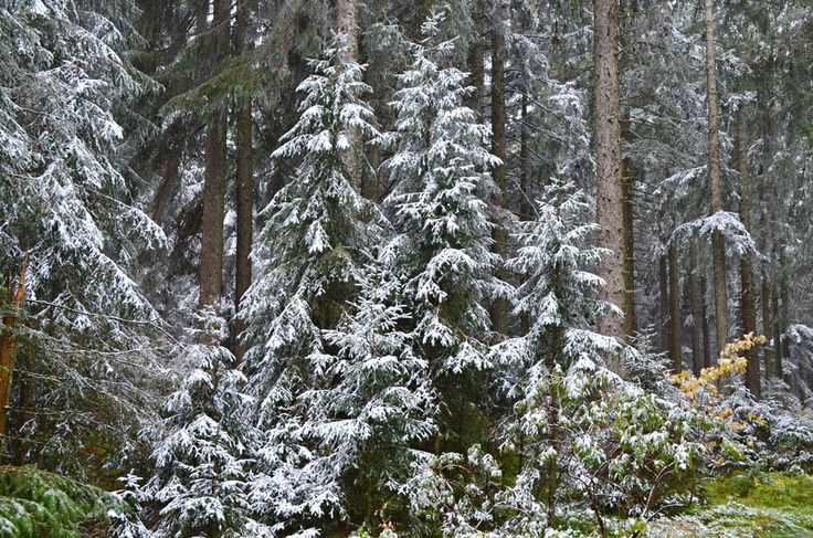 https://flic.kr/p/AmZKKD | Snowy upper forest, Black Forest, Germany