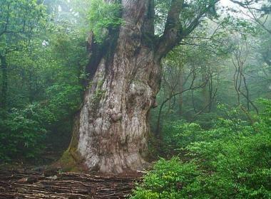 Yakushima - la foret de princesse mononoké https://www.vivrelejapon.com/ville-kagoshima/ile-yakushima-cedre