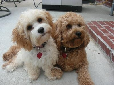 Cavapoos - oh my word.  Now THAT is cute!