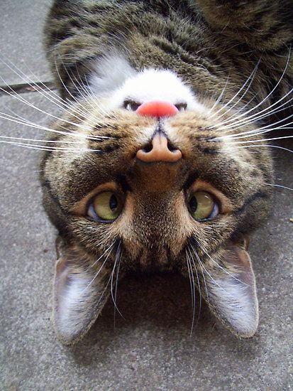 Little clowncat: Angry Bunnies, Cat Eye, Funny Cat, Funny Commercial, Crazy Cat, Bunnies Faces, Funny Animal, So Funny, Silly Cat