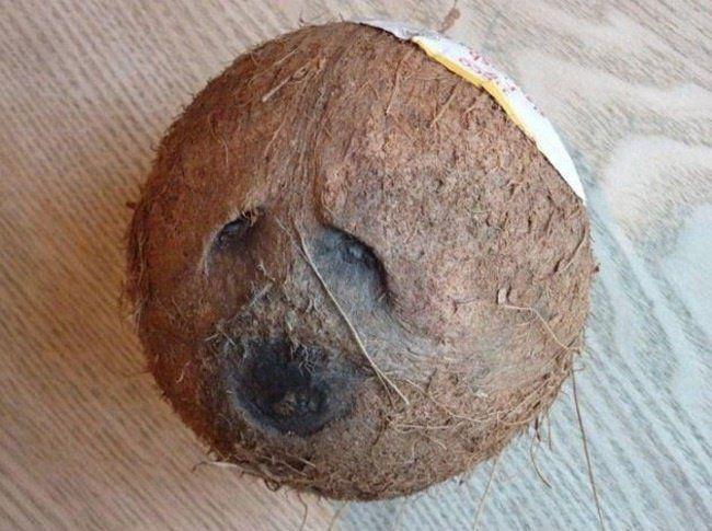 Cette noix de coco qui pense que vous êtes un monstre
