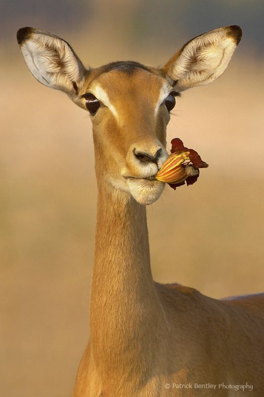 Impala in Zambia
