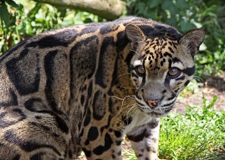 purdy! (Clouded Leopard)