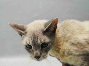 12 YR OLD SENIOR BOY -  POSSIBLE GINGIVITIS, MILD DERMATITIS - POSS UMBILICAL HERNIA - NEEDS RESCUE NOW - CAME IN WITH A1095871 - CARMIN - DUMPED FOR LANDLORD ISSUES