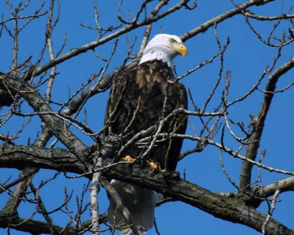 Fun Facts About Bald Eagles | Article date: 2-26-13