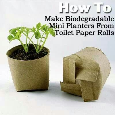 Toilet paper rolls as degradable plant starters!