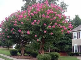 """The Crepe Myrtle is a fast growing flowering shrub but it's main use in the College Station area is a tree. It can range in height as high as 100 feet, yet in the Brazos Valley rarely grows taller than 25 feet. The flowers are white, pink,  red, purple, white, and blooms are prolific.   Crepe Myrtles are one of the best ways to add real """"Curb Appeal"""" to any home quickly."""