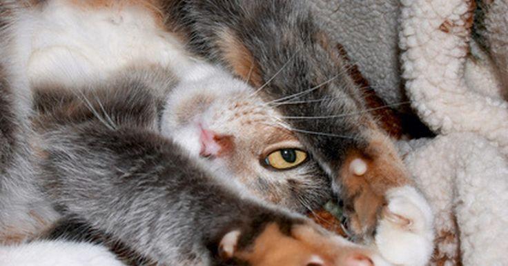 """Como saber o que seu gato quer. Gatos, como as pessoas, podem se comunicar através de sons e linguagem corporal. """"Ler"""" alguns desses sinais o ajudará a se comunicar com seu gato e tomar mais cuidado com suas necessidades. Existem certos comportamentos de gatos que podem ajudar você a entender melhor o que ele quer ou o que talvez esteja o deixando doente."""