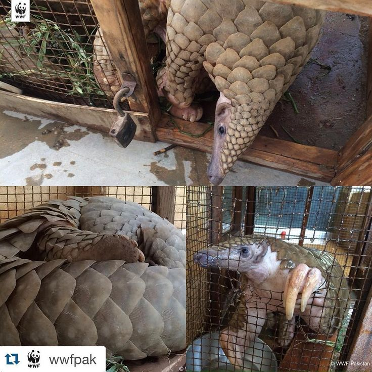#Repost @wwfpak ・・・ #WWF-Pakistan and the #SindhWildlifeDepartment jointly took into custody an #Indian #pangolin (Manis crassicaudata) captured by a security guard recently from Khayaban-e-Hafiz, DHA #Karachi.  This 4 feet and 10 inches large animal was later kept at the house of Karachi citizen Ronaq Lakhani who informed WWF-#Pakistan officials about the incidence. The animal had slight injuries on its body and is being quarantined for a few days by the Sindh Wildlife Department before…