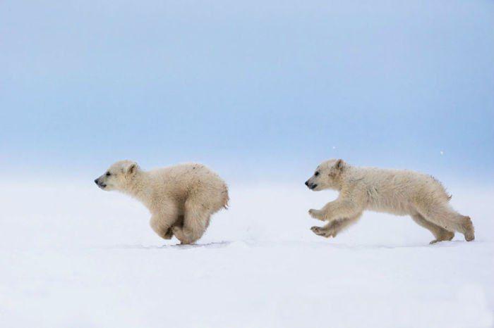 Белые медвежата играют в догонялки, Гудзонов залив