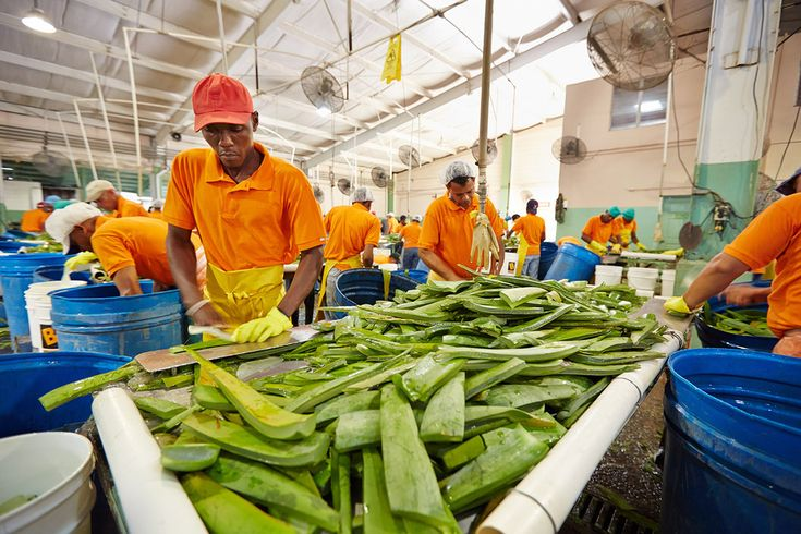 VERTICAL INTEGRATION    By owning our own aloe plantations, manufacturing and packaging plants, and storage facilities, Forever can control quality and cost every step of the way—starting with raw materials and ending with the finished products you love. From plant to product to you!