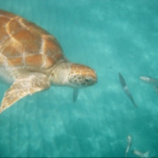 Swimming with sea turtles- Barbados