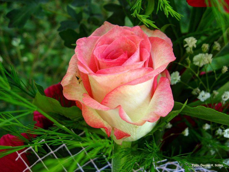 Rózsa / Pink roses Fotó: Denke H. Ildikó