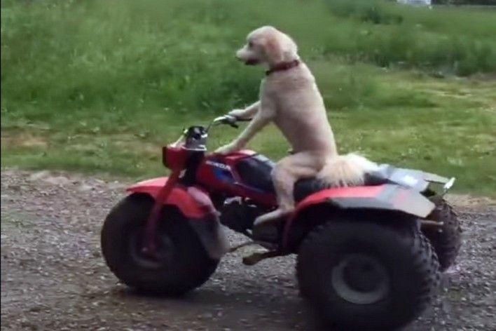 Σκύλος πάει βόλτα με γουρούνα [Video]