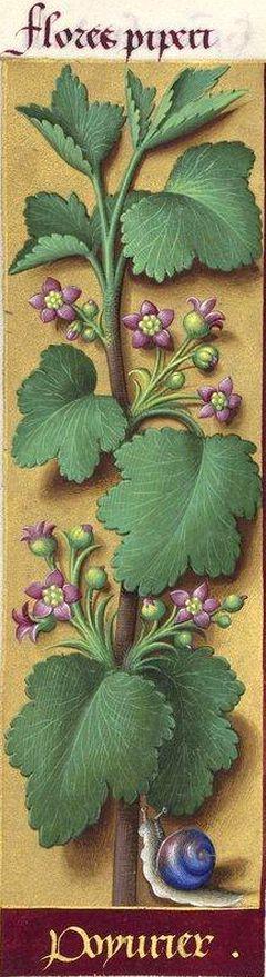 """Poyvrier - Flores piperi (Ribes nigrum L. = fleurs du groseillier noir) -- Grandes Heures d'Anne de Bretagne, BNF, Ms Latin 9474, 1503-1508, f°152v -- A. de Jussieu nous apprend que les noms de """"cassis"""" et de """"poivrier"""" étaient propres au Poitou, tandis qu'à Paris, on ne se servait que du terme """"groseillier noir"""". Toutefois le mot """"cassis"""" tendait alors à se répandre."""
