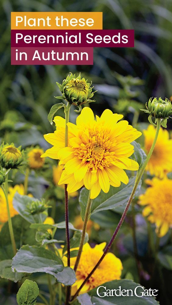 Perennial Seeds To Plant In Fall Smart Gardening Perennials