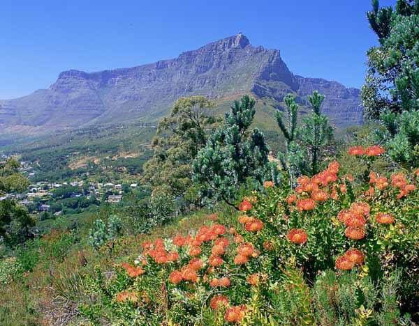Table Mountain and proteas