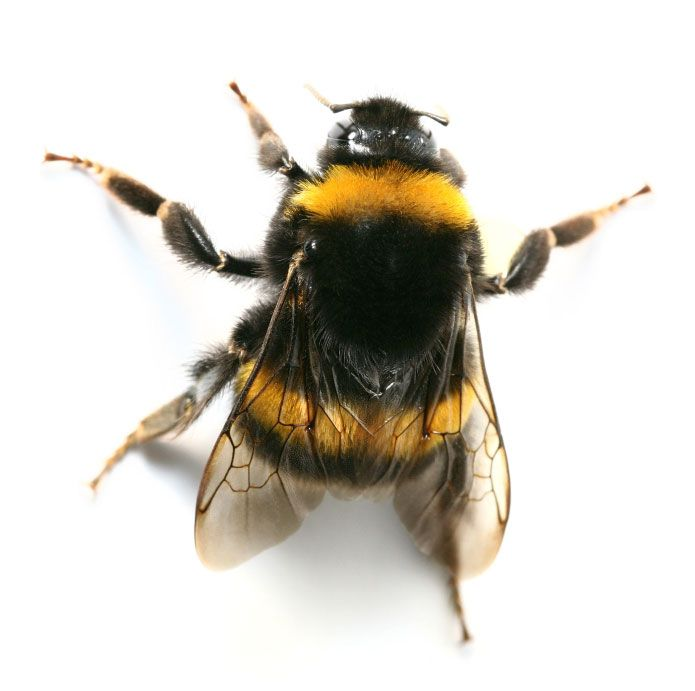 bumblebee insect - Google Search   Creatures~ LadyBugs ...