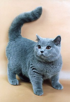 Британская короткошерстная кошка | ZOODOM