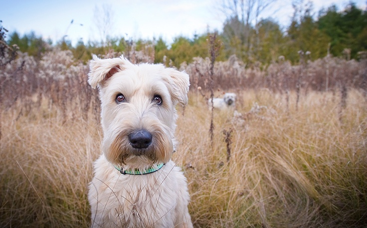 Wheaten.Eggs Rolls, Nails Polish Art, Old Dogs, Pin Today, Egg Rolls, Life Pinterest, Homemade Tacos Seasons, Popular Pins, Wheaten Terriers