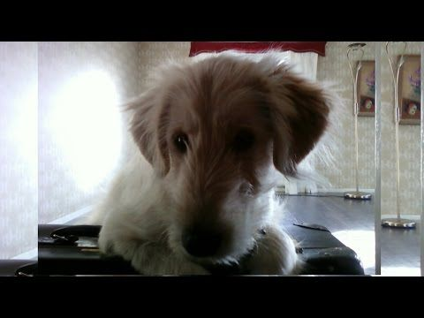 Goldendoodle dog, a funny animal. Videos with Golden Retriever Poodle mix Ally. set78 2015 - http://www.doggietalent.com/posts/goldendoodle-dog-a-funny-animal-videos-with-golden-retriever-poodle-mix-ally-set78-2015/