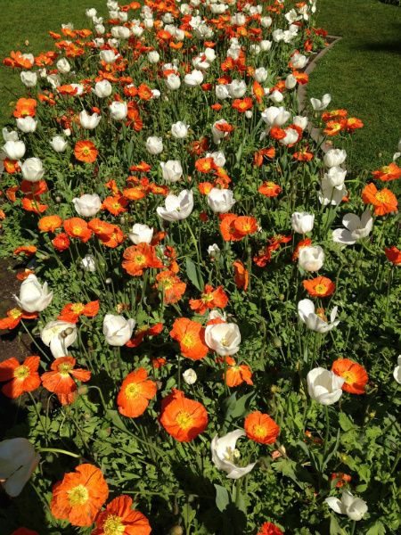 Tulips And Icelandic Poppies In Bloom March 2013 At The Queen Wilhelmina Tulip Garden In