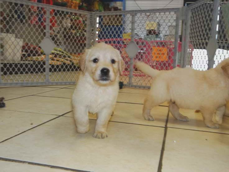 Golden Retriever Puppies Craigslist Retriever Puppy Retriever Family Dogs Breeds