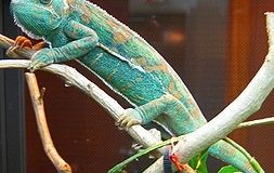 Chameleon Color Changes Predict Winner before a Fight Begins
