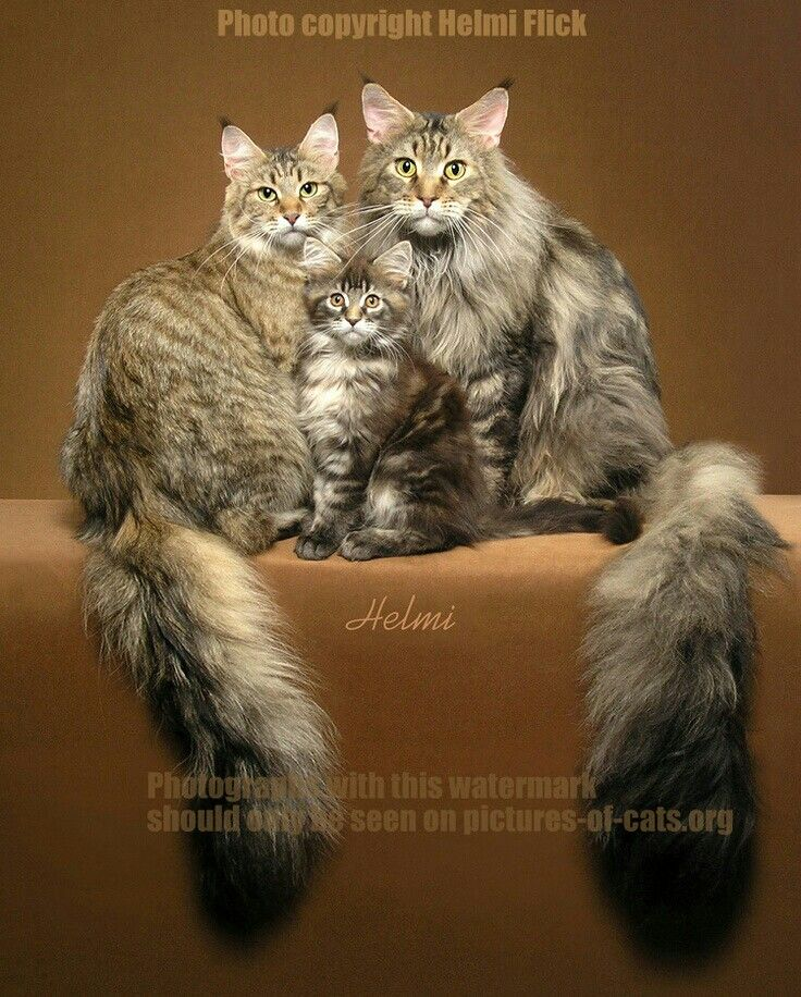 Maine coon family.