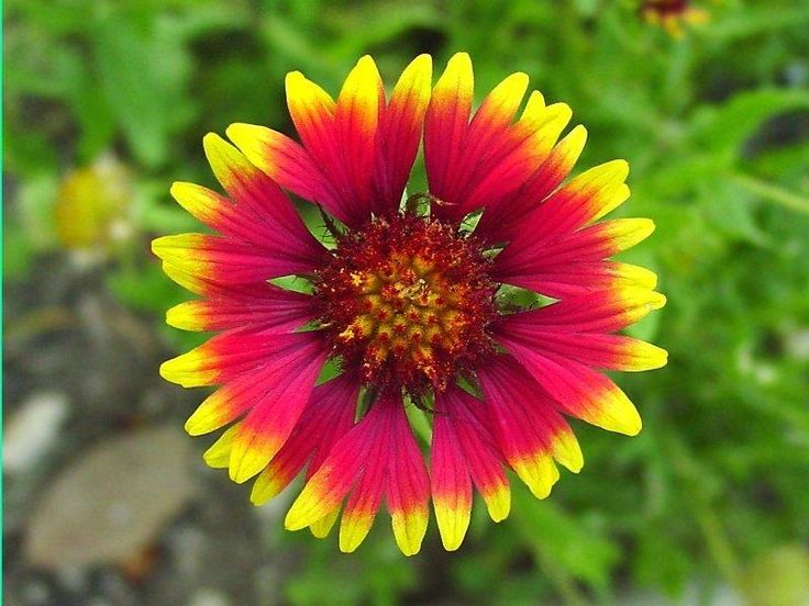 The Indian blanket (Gaillardia pulchella) was named the state wildflower by the Oklahoma legislature on May 7, 1986
