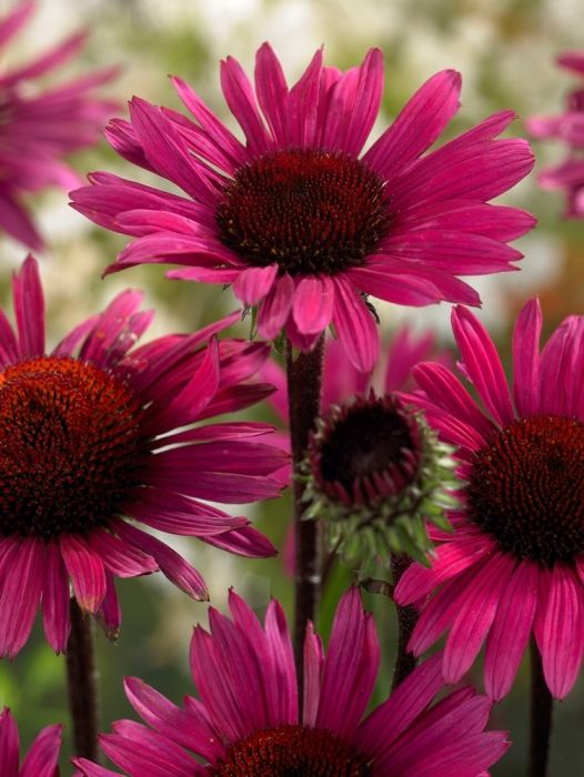 Echinacea (Coneflower) Fatal Attraction x 3 Pl Sp into B