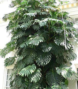 Taro Vine (monstera deliciosa): Monstera deliciosa is a species of flowering plant native to tropical rainforests of southern Mexico, south to Panama. It has been introduced to many tropical areas, and has become a mildly invasive species in Hawaii, Seychelles, Ascension Island and the Society Islands.  https://en.wikipedia.org/wiki/Monstera%20deliciosa