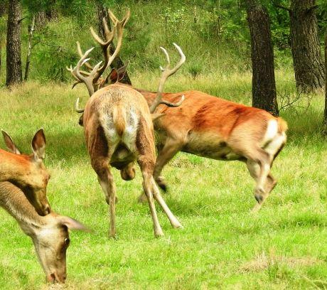 Twee edelhertbokken gaan de strijd aan.