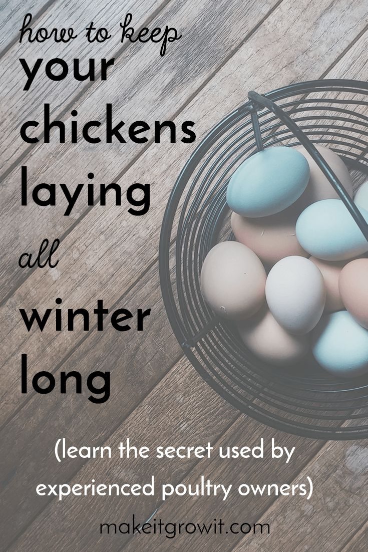 Have you ever wondered how you can keep your chickens laying eggs all winter long? Learn the secret to winter egg production here!