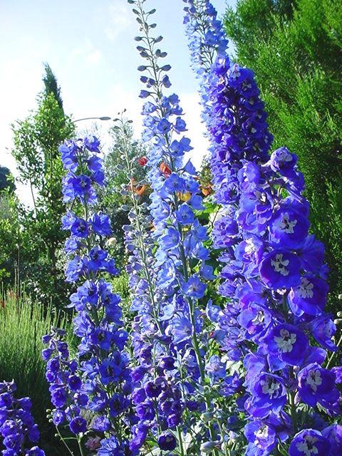 Abelha Azul ou Delfínio - Família Ranunculaceae - O nome (Abelha Azul) vem da palavra grega dolphin, que significa golfinho, em referência à uma glândula dentro da flor que possui formato parecido com