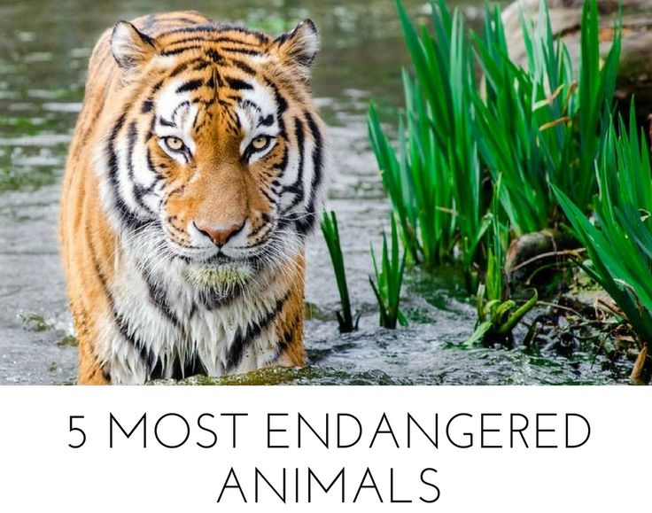 Deforestation and habitat loss driven by the palm oil industry are aiding to the endangerment of animals, including tigers. Find out what the world's five most endangered animals are.  #animals #palmoil #environment #endangered #gogreen