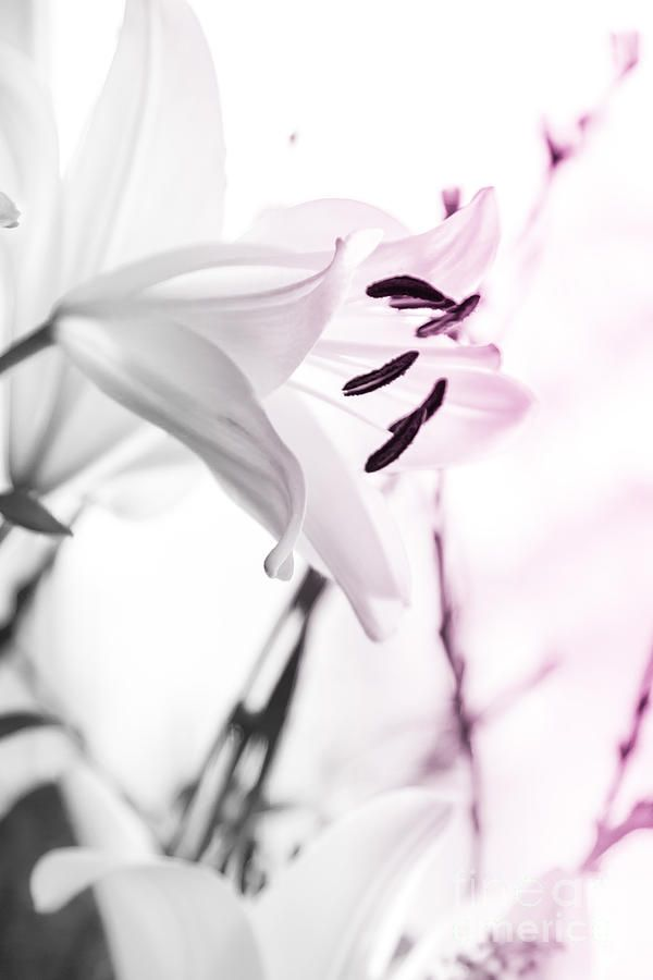 Pink Lily Feature Photograph  - Pink Lily Feature Fine Art Print