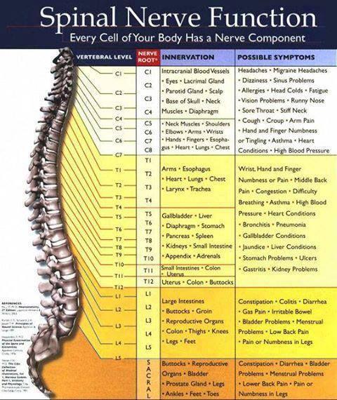 https://sphotos-b-lga.xx.fbcdn.net/hphotos-prn1/q71/1239458_434887609953249_1886570884_n.jpg Spinal Nerve Function