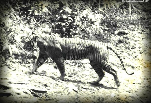 Photograph of extinct Javan Tiger (Panthera Tigris Sondaica) taken in 1938