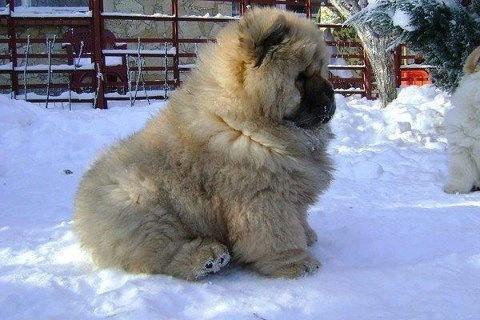Puppy Chow Chow