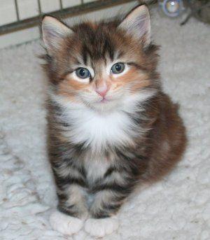 Baby Norwegian Forest Cat